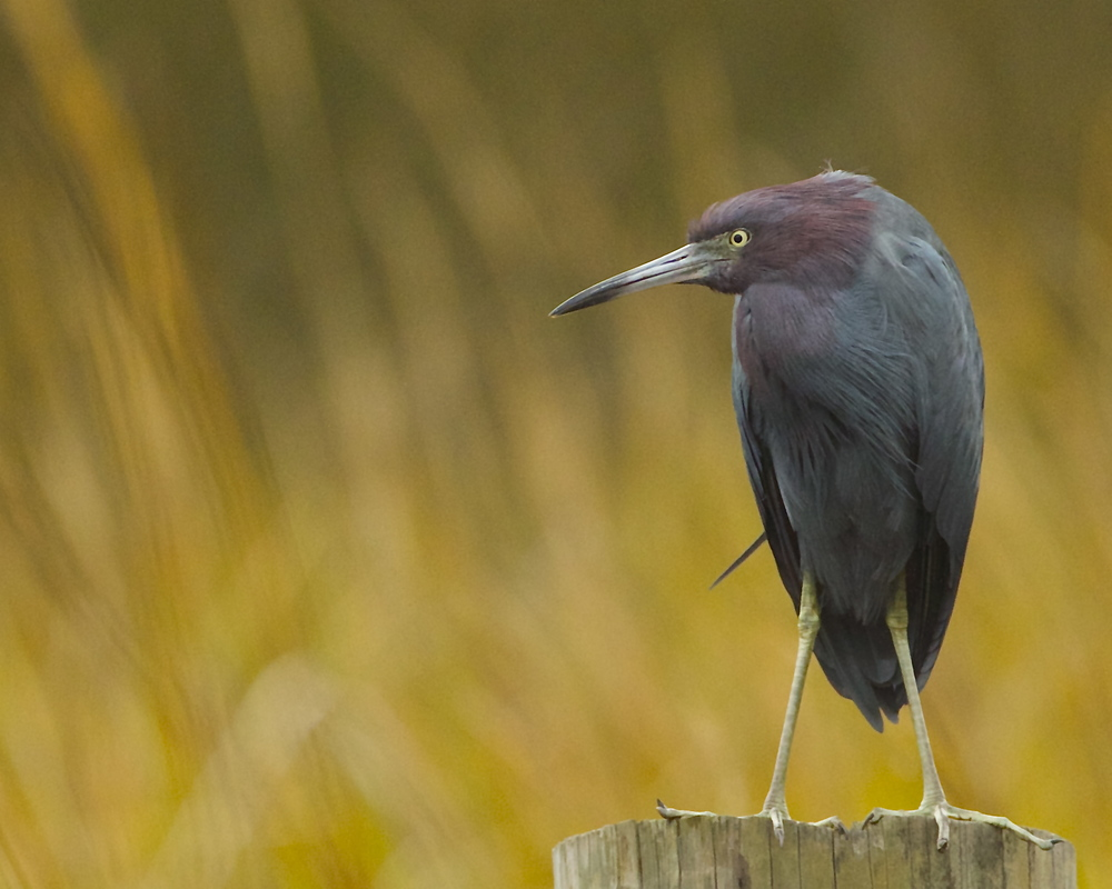 Little Blue Heron with an Attitude!