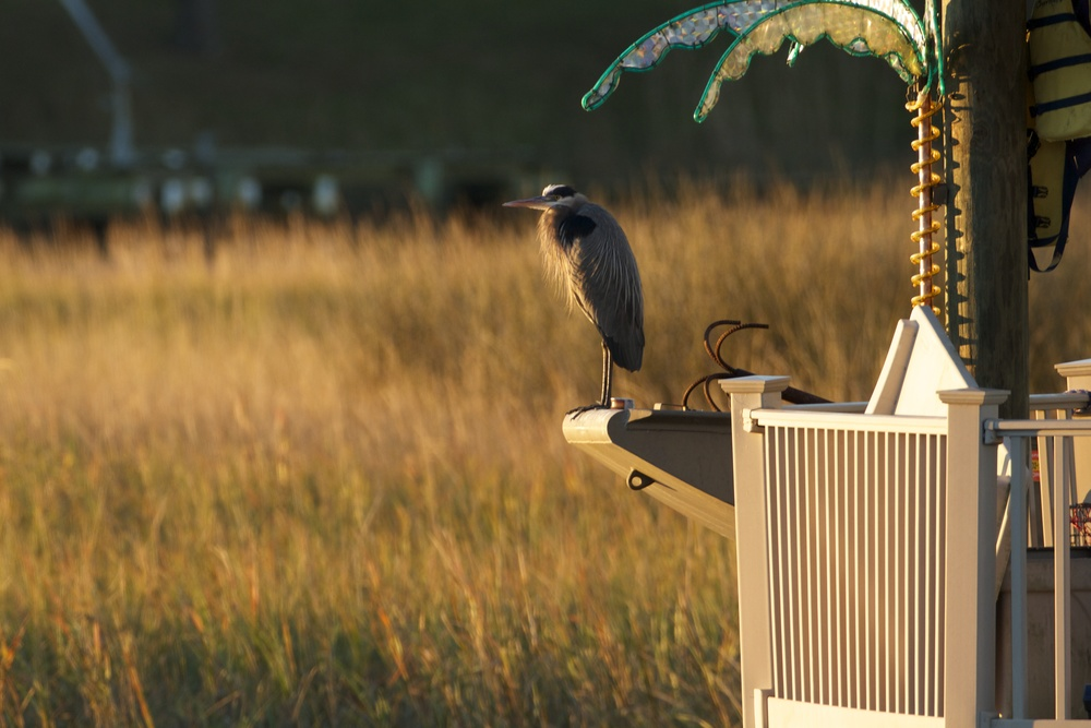 It's Deja Vu all over again. Old Man River, the Great Blue Heron begins the year like the last, on his favorite perch.