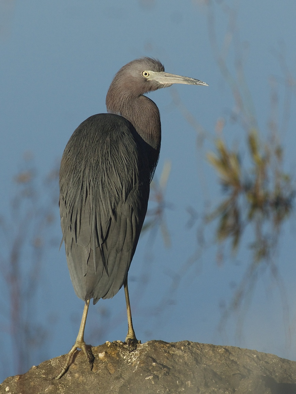 This Little Blue Heron, some Snowy Egrets and my Tricolored Heron Friend soon join Old Man River.