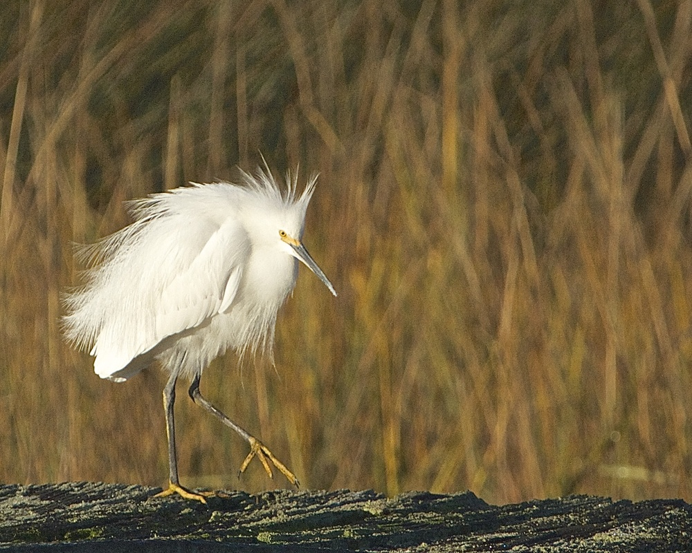 The Snowy is perturbed with one of the other egrets and chases it off.