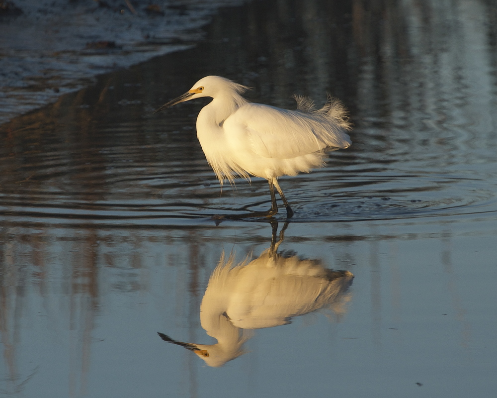 Snowy Egret trails the hoodies looking for opportune catches.