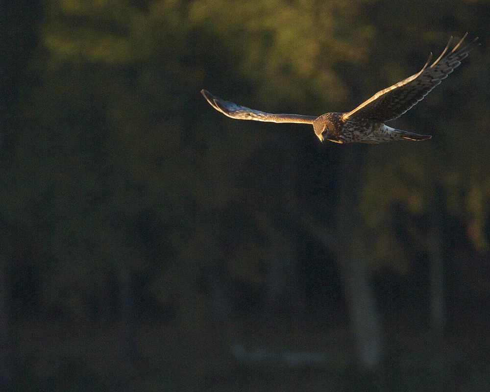 Northern Harrier hawk flies low over the marsh looking for prey.
