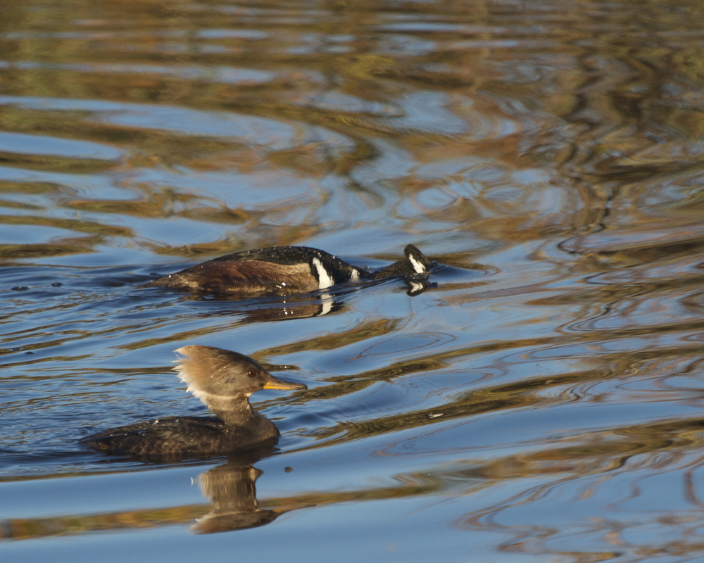 A pair of Hooded Mergansers round the bend, they turn away before returning again.
