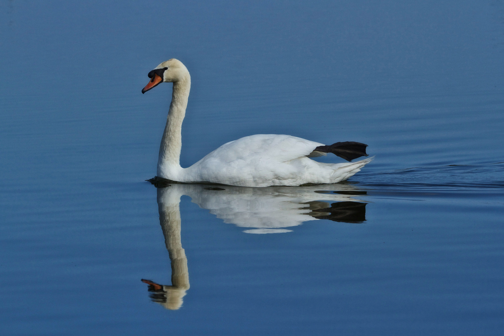 Mute Swan make rare appearance in Florida's Viera Wetlands.