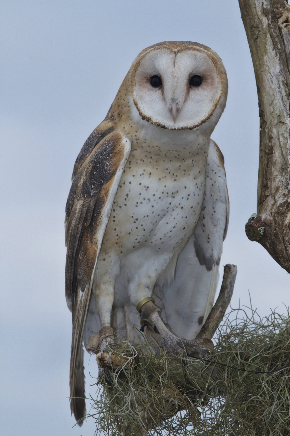 Barn Owl. Who Dat?