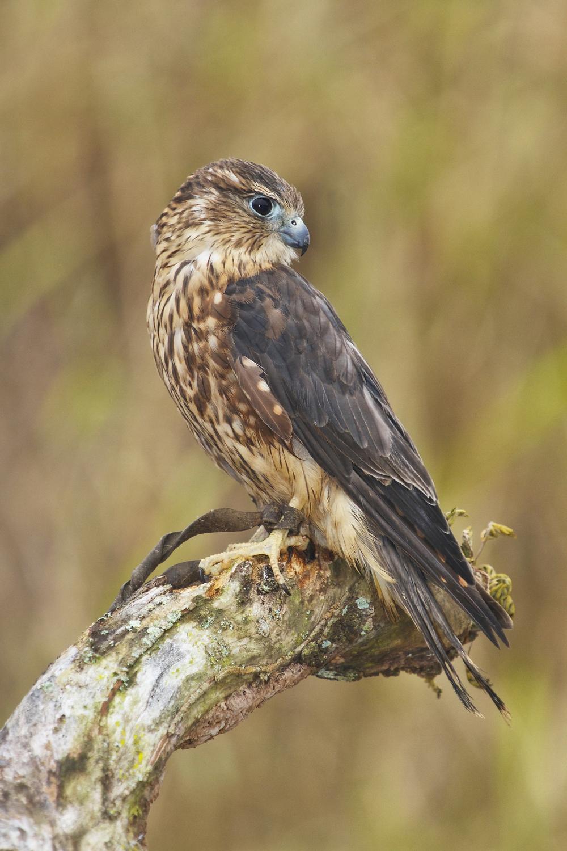 Merlin falcon.