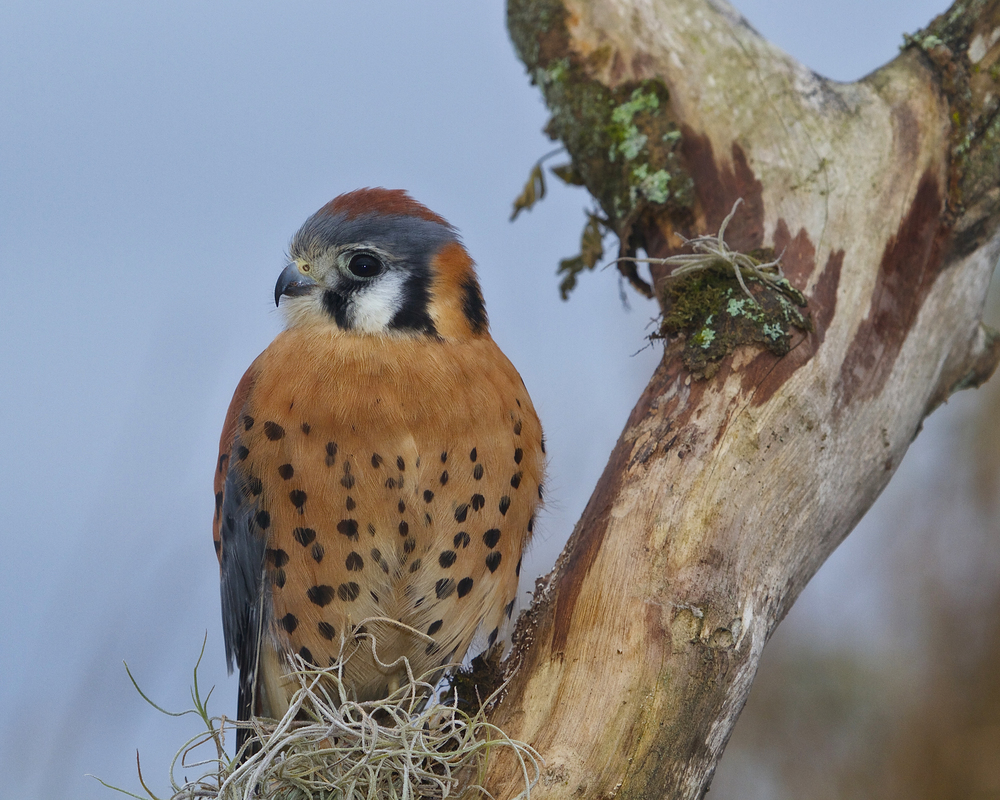American Kestrel (male).