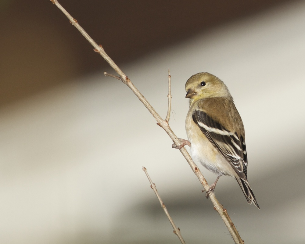 Goldfinch in winter garb.