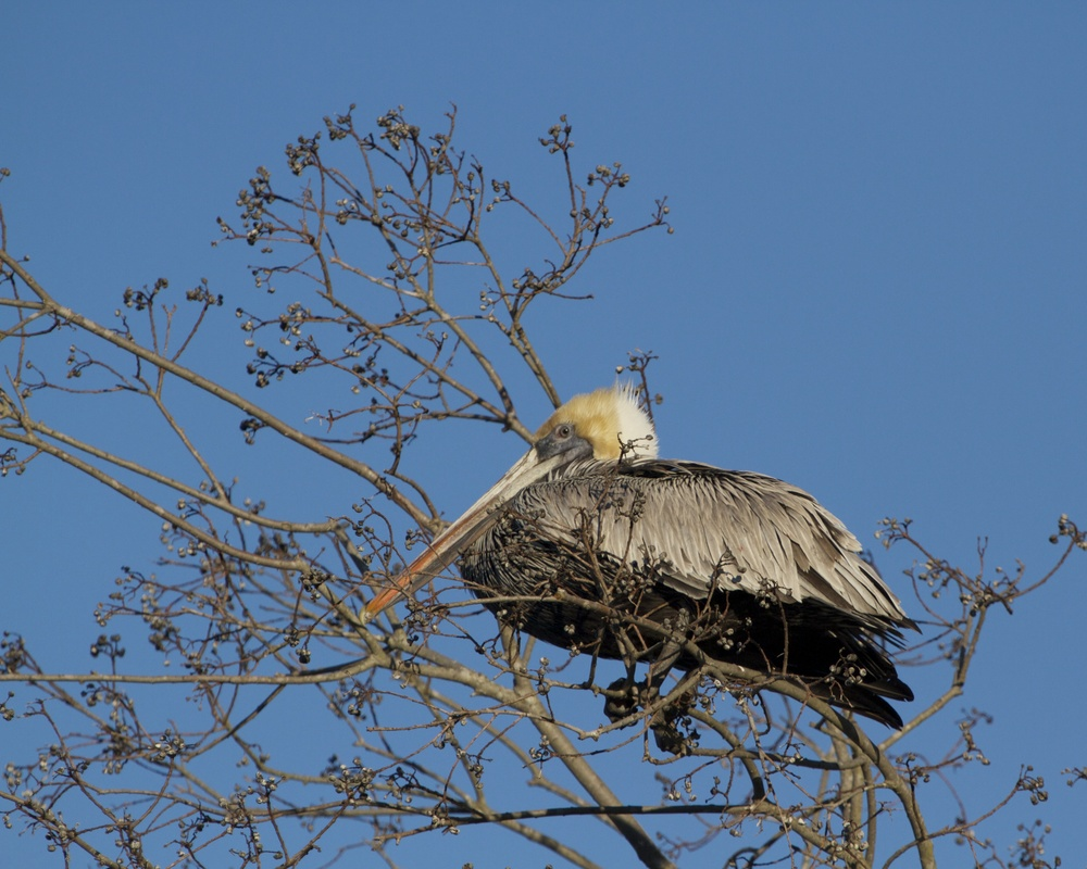 Brown Pelican rests high in a tree near the lagoon.