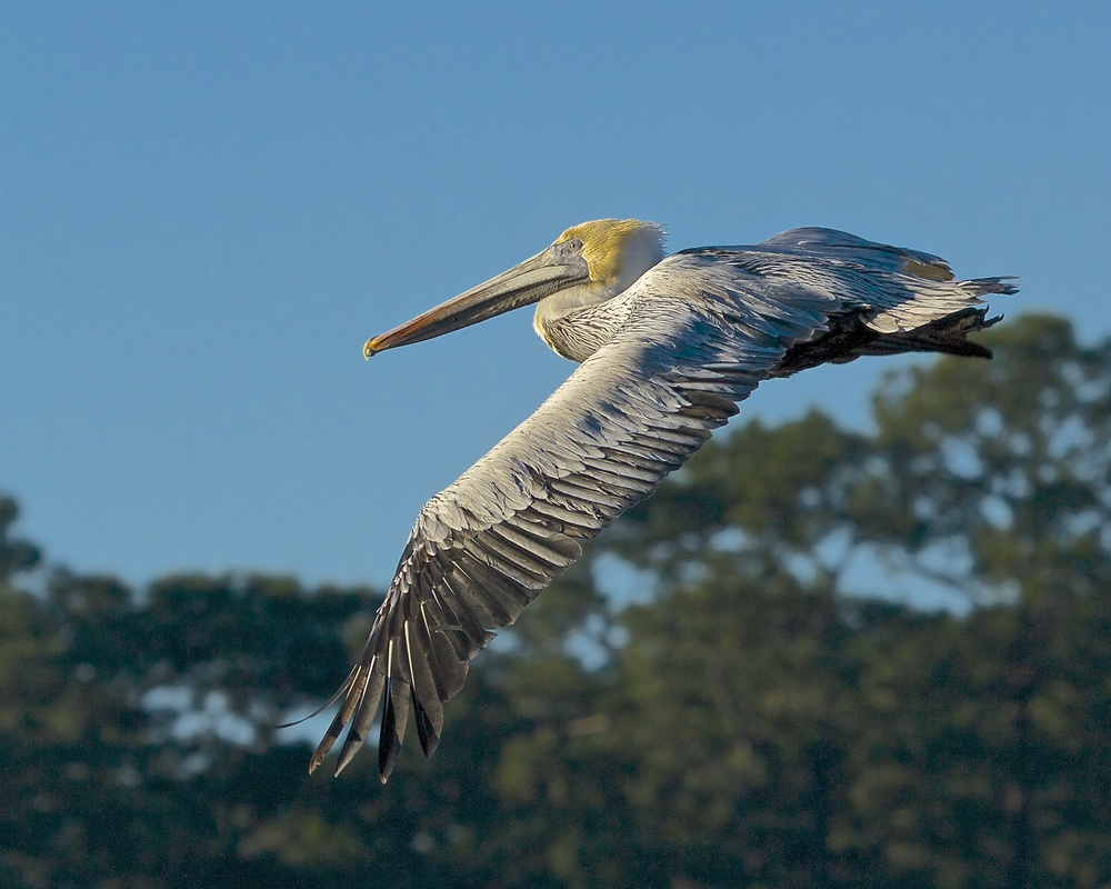 The pelican stretches its broad wings and glides to the pier nearby.