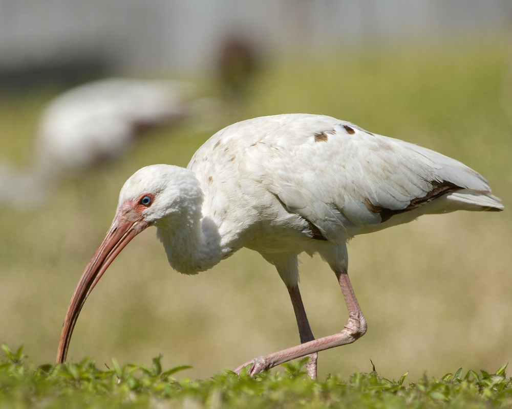This young Ibis is nearly an adult with the white feather color.