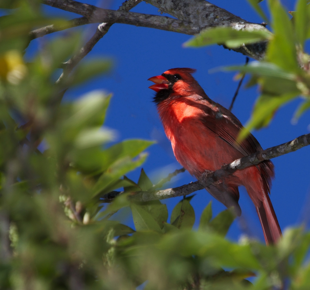 A Cardinal breaks into song..