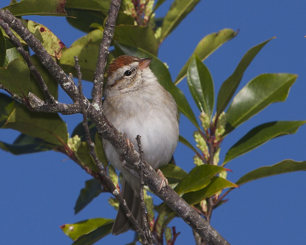 A Chipping Sparrow gives me the eye...