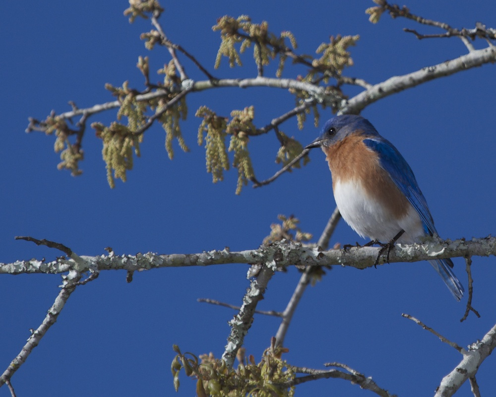 A Bluebird sits over my shoulder in the tree