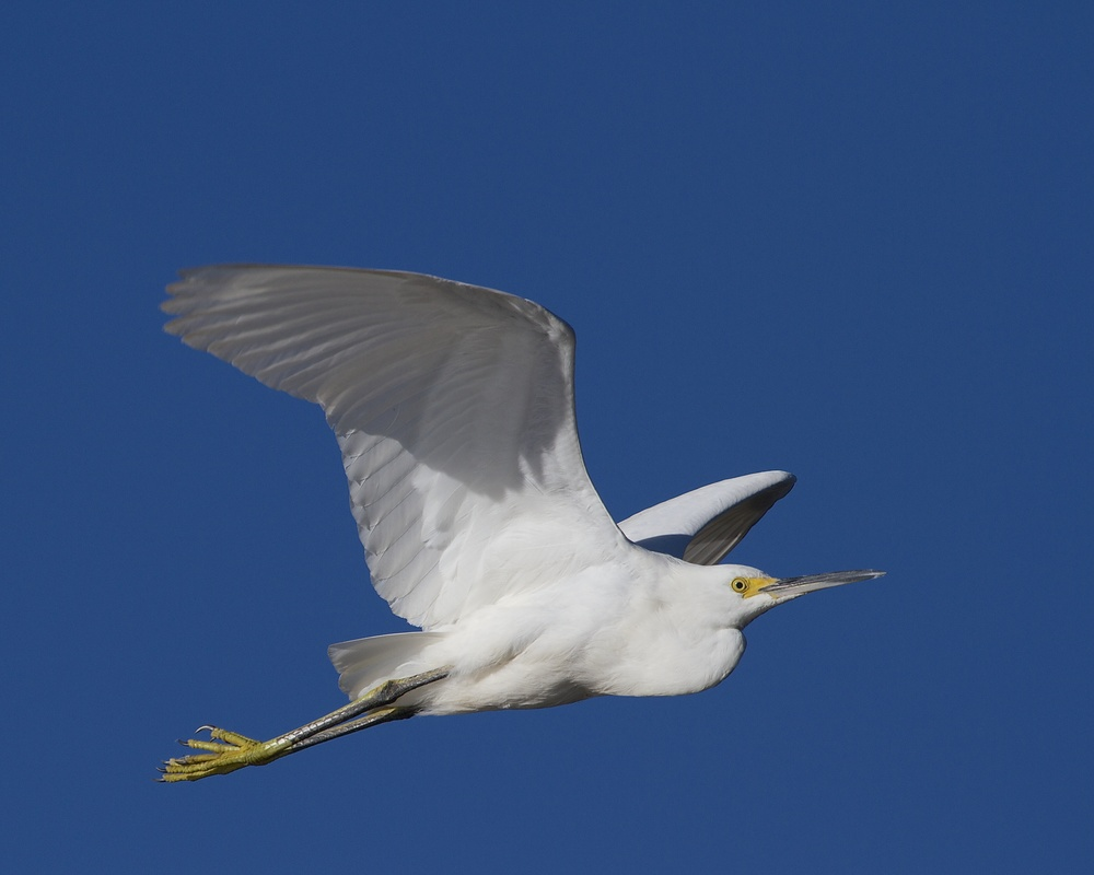 A Snowy Egret bids goodbye to winter as it wings bye..