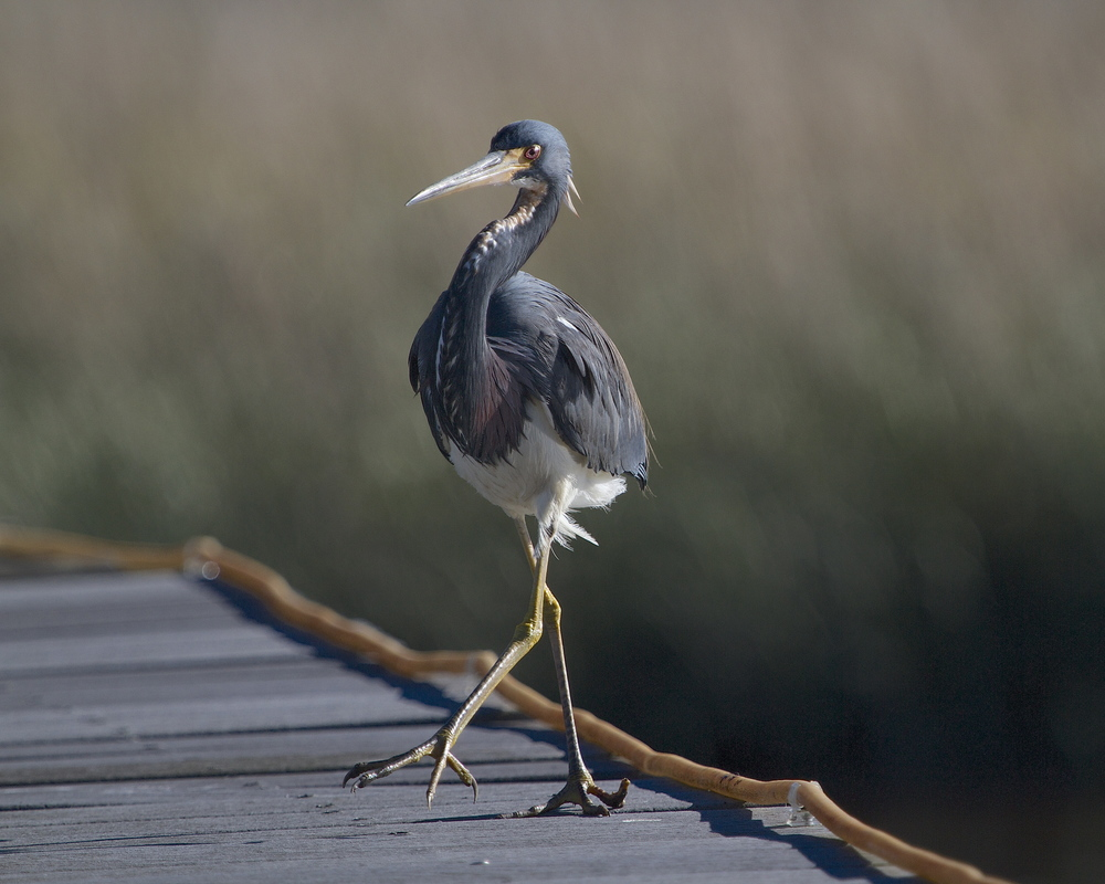 Tricolored Heron saunters over to the others side of the dock..just where I wanted it.