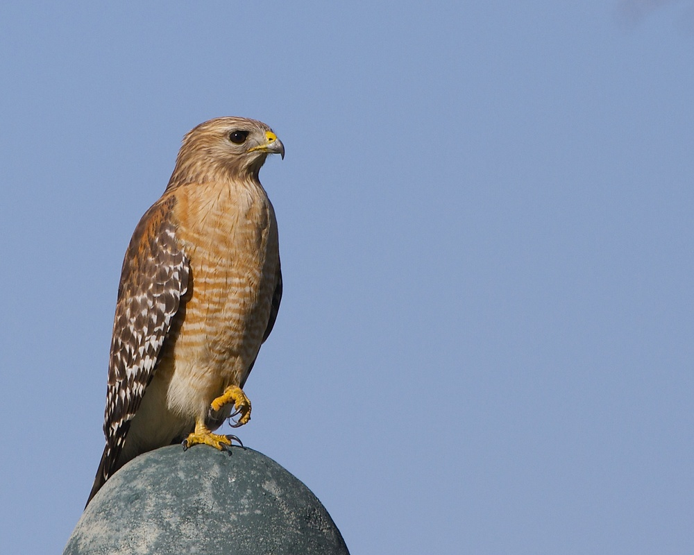 Red Shouldered Hawk watches the feeders for opportunity