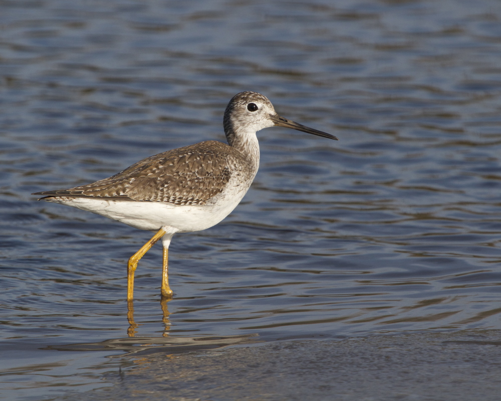 A Greater Yellowlegs Sandpiper joins the hunt for food on the outgoing tide