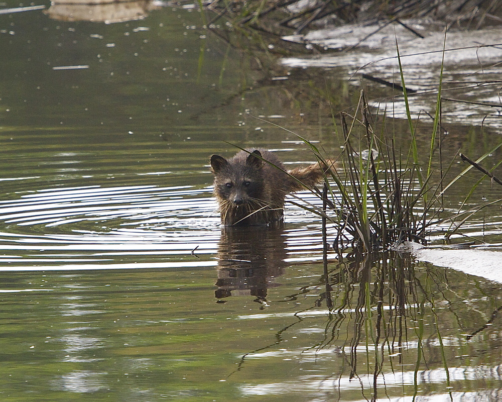 Birds are not the only creatures hunting in the low tide..soggy raccoon emerges from the marsh..