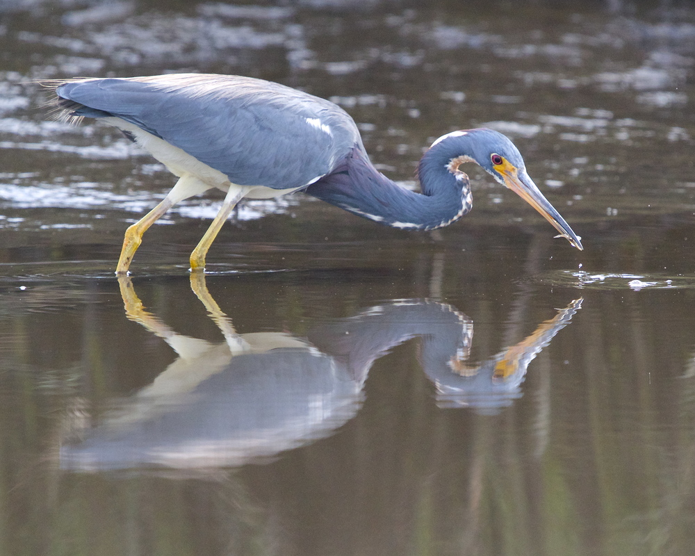 Tricolored Heron captures a snack too!