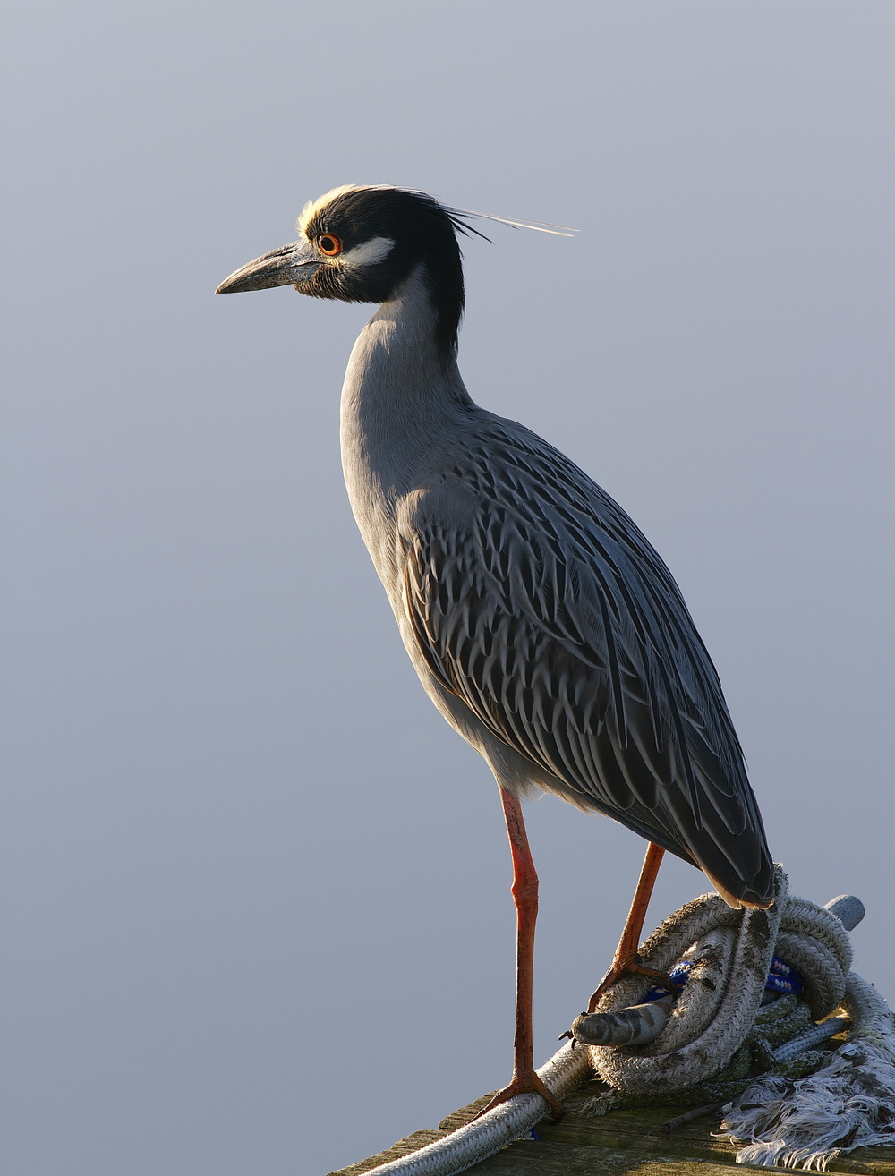George, the Yellow Crowned Night Heron is back!