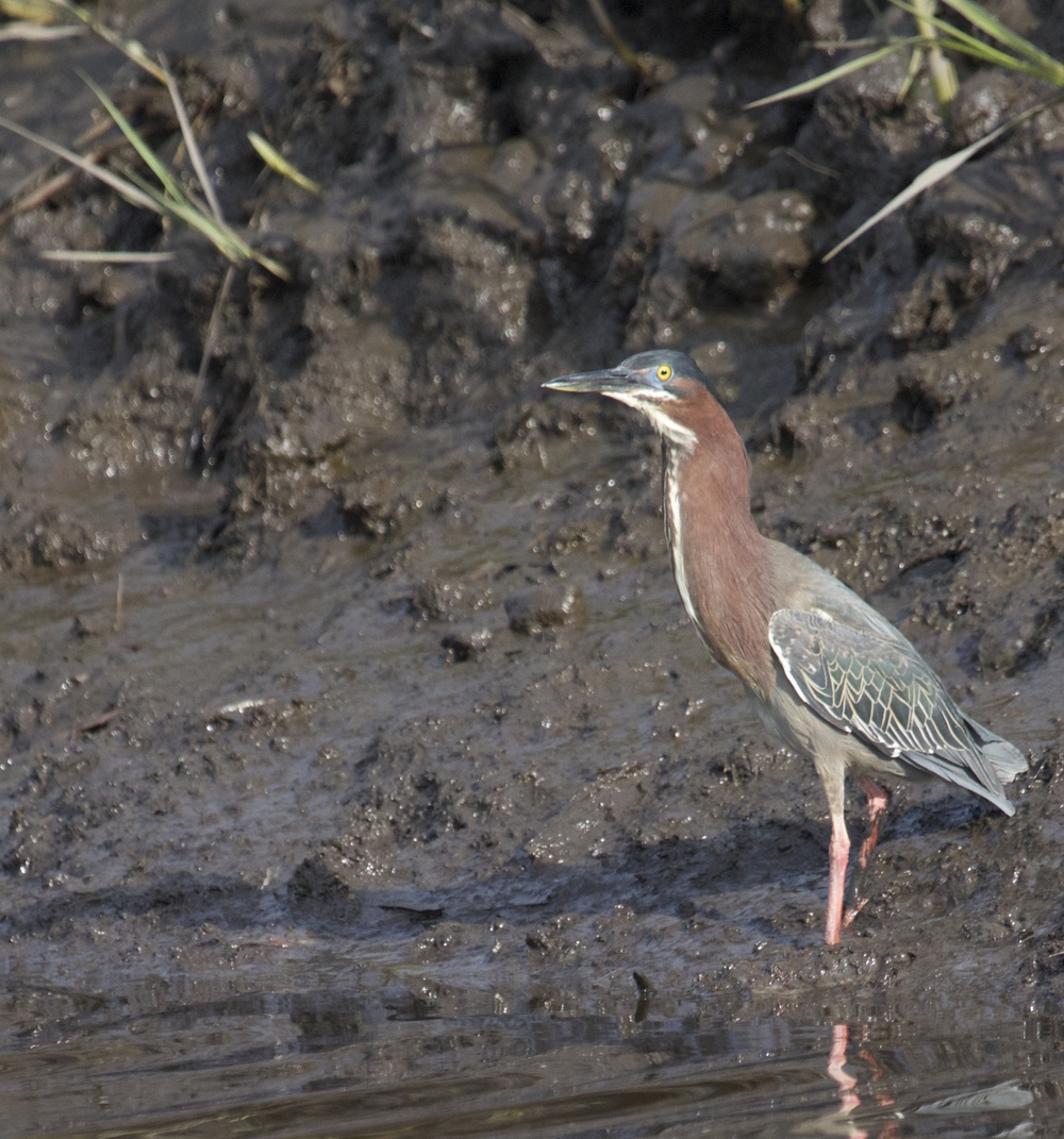 A Green Heron is also spotted, first sighting of the Spring.