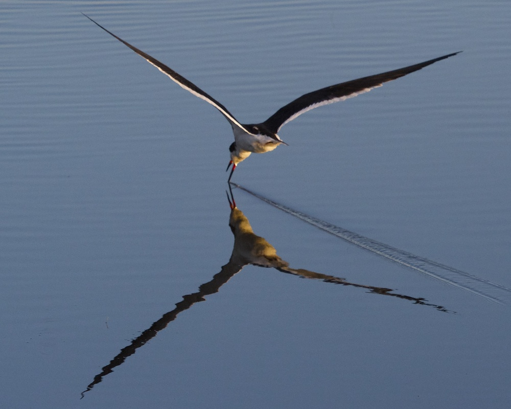 "Black Skimmer ""skims"" in the wrong direction.."