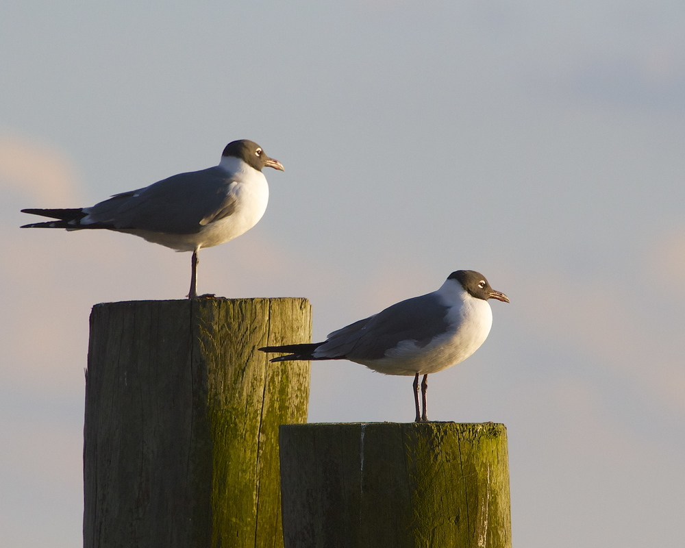 Pair of Laughing Gulls enjoy the sunset too!