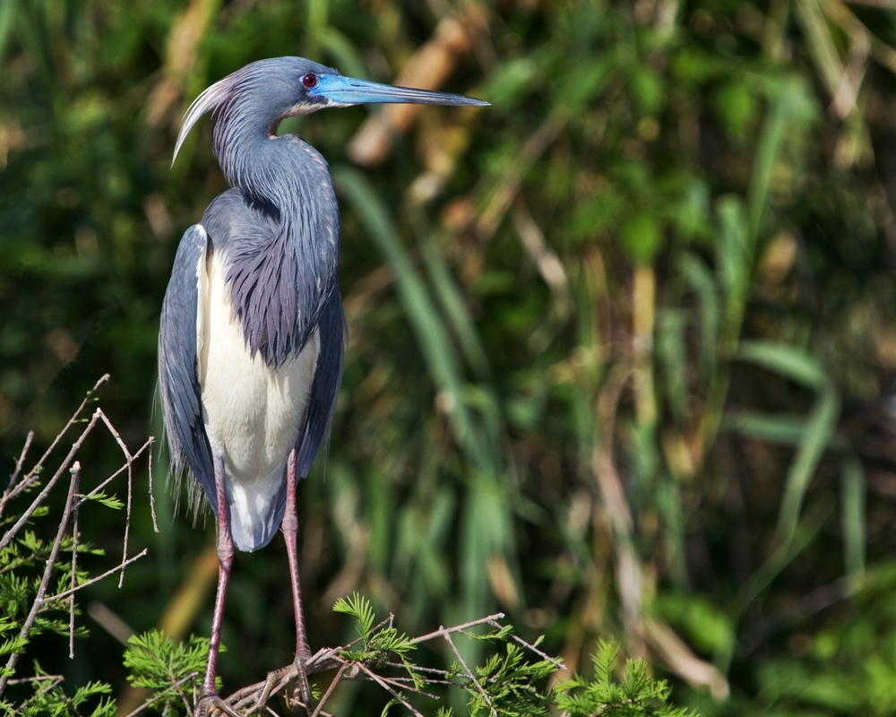 Tricolored Heron in Breeding colors, blue beak and maroon legs.