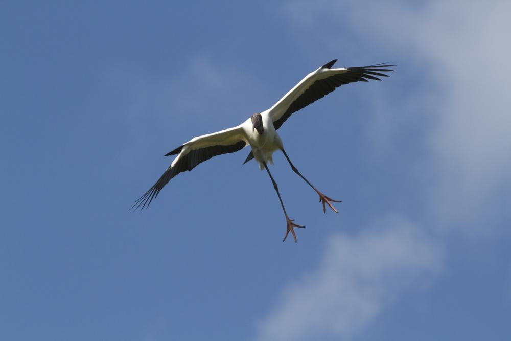 """Wood Stork glides """"like a swan"""""""