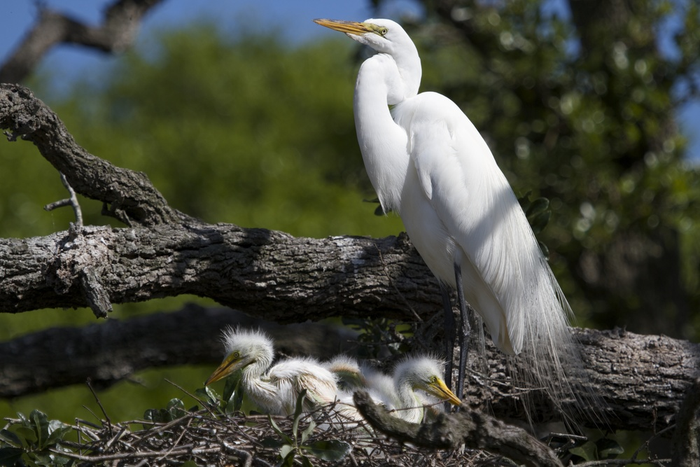 Proud Parent! Great Egret with chicks.