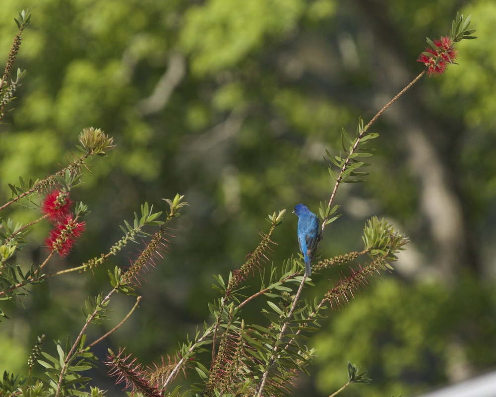 See that bright blue little bird on the bottle-brush plant..an INDIGO Bunting..yet another new one for me.