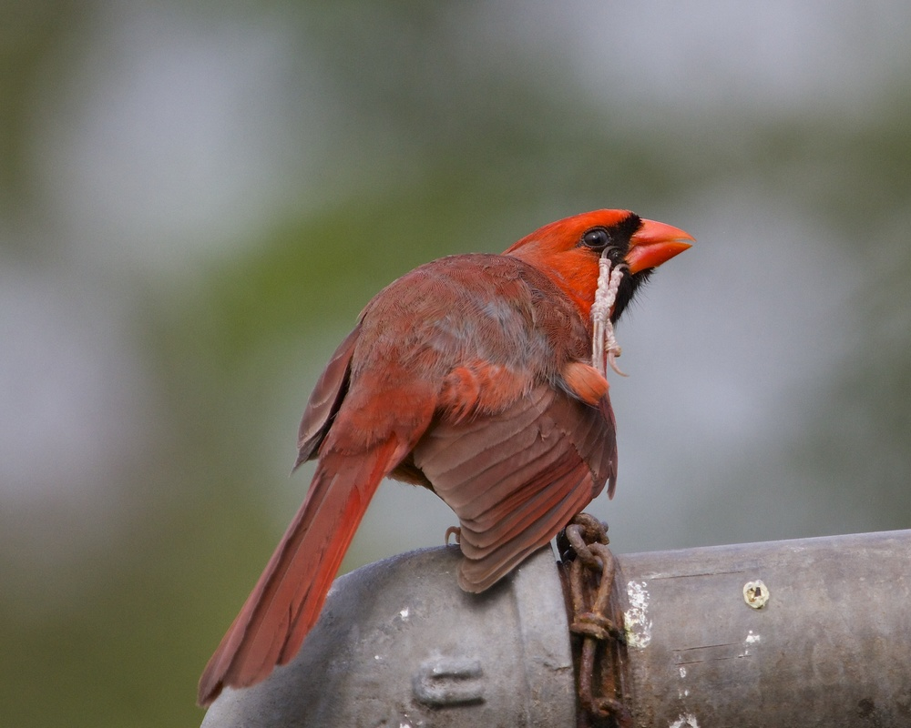If you have an itch scratch it, even if you have to use your feet!. Male Northern Cardinal