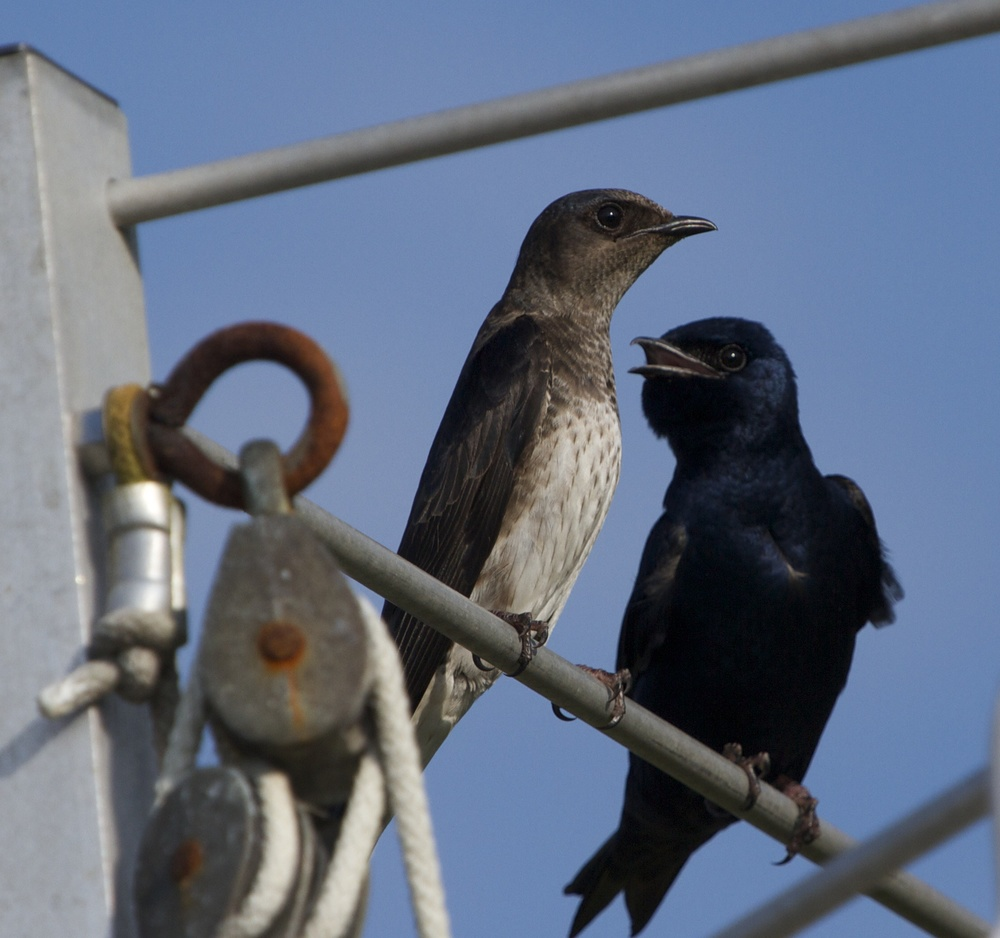 Purple Martin pair. The male is telling the wife, it is your turn to get the bugs..I did it last time!