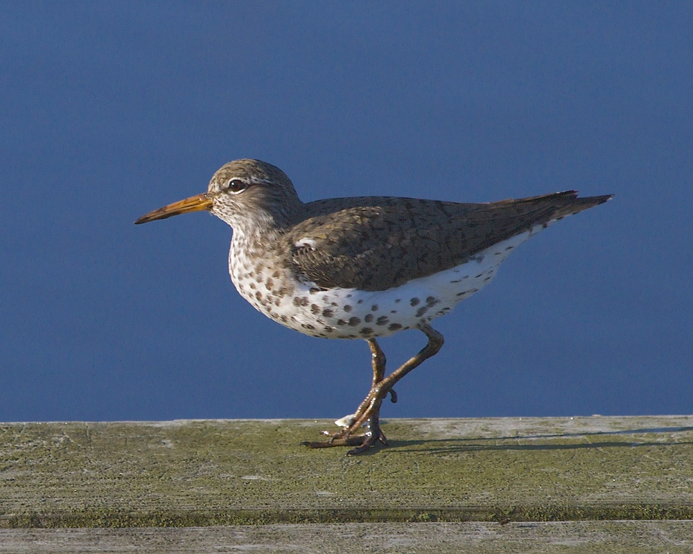 Small Spotted Sandpiper in breeding colors (the spots)..