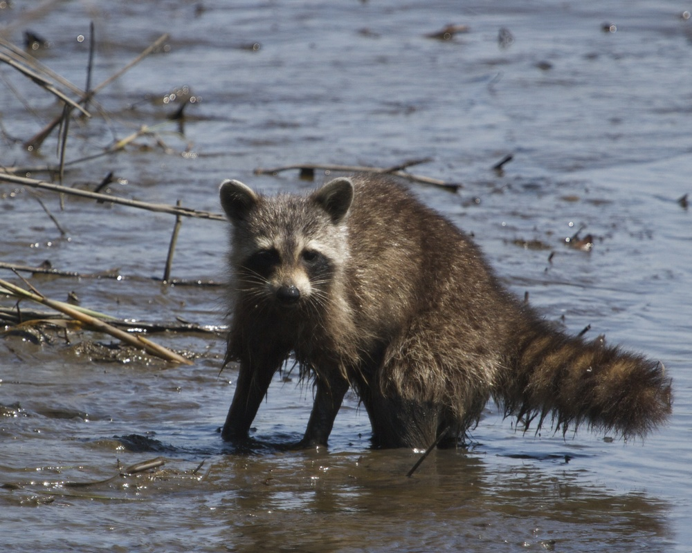 Muddy raccoon hears the doohickey click.