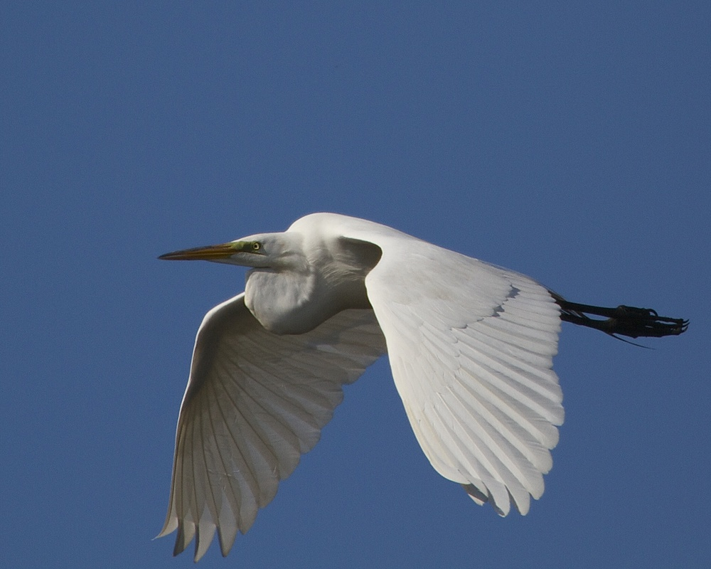 A Great Egret glides towards the setting sun.