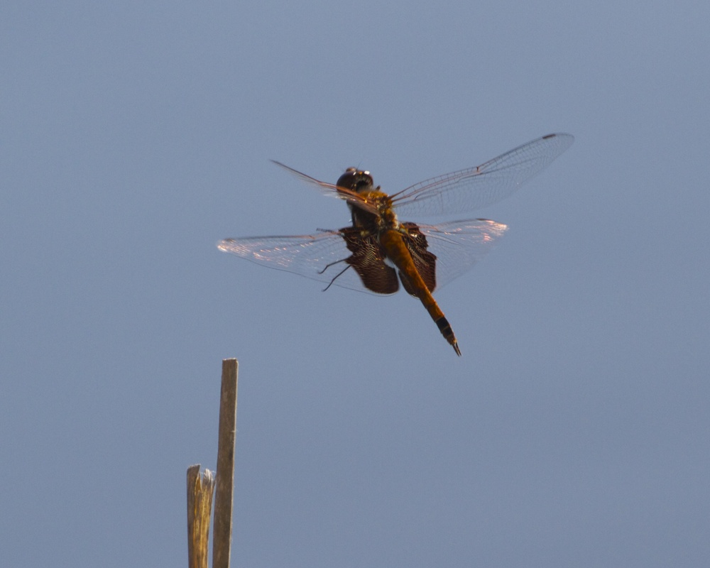 A dragon fly makes its approach.