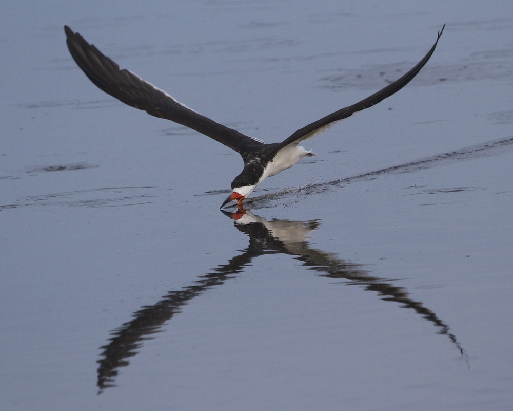 The Black Skimmers fly along hoping to snag a fish!