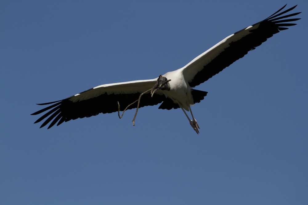 The Wood Stork glides on broad wings as graceful as any bird in the sky..This one is bringing a stick to the nest.