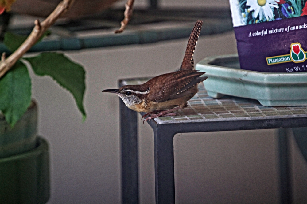 With hungry mouths to feed this male Carolina Wren was busy all day Saturday bringing bugs to the nest.