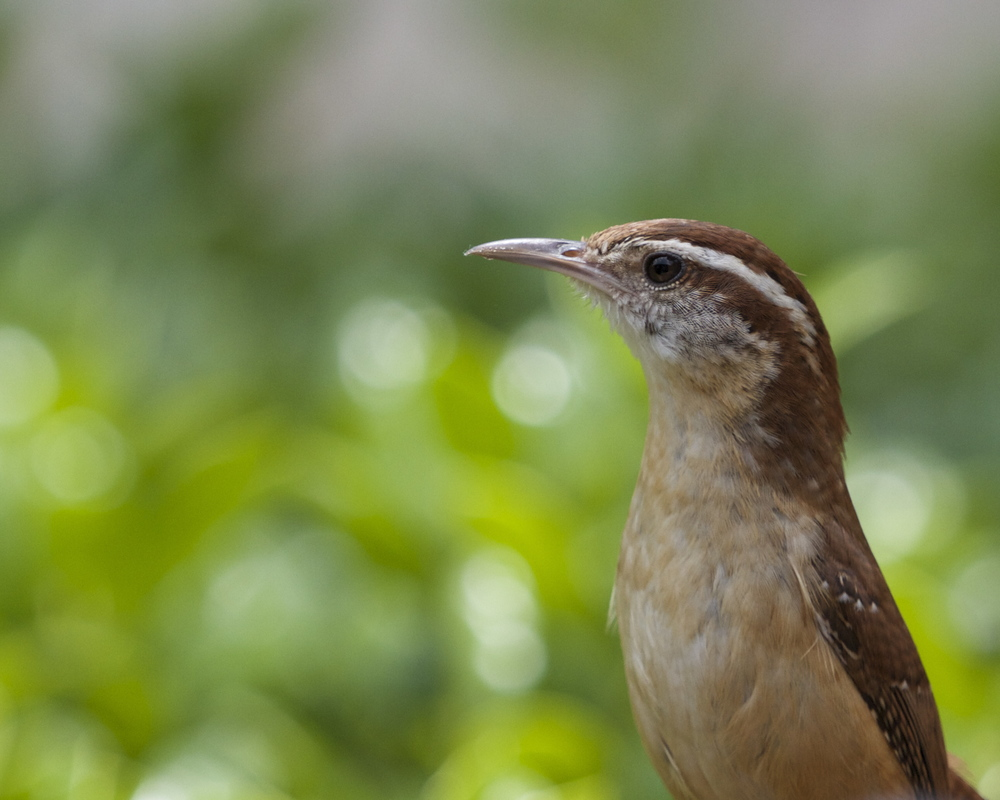 The Female Carolina Wren checks me out before approaching the nest.