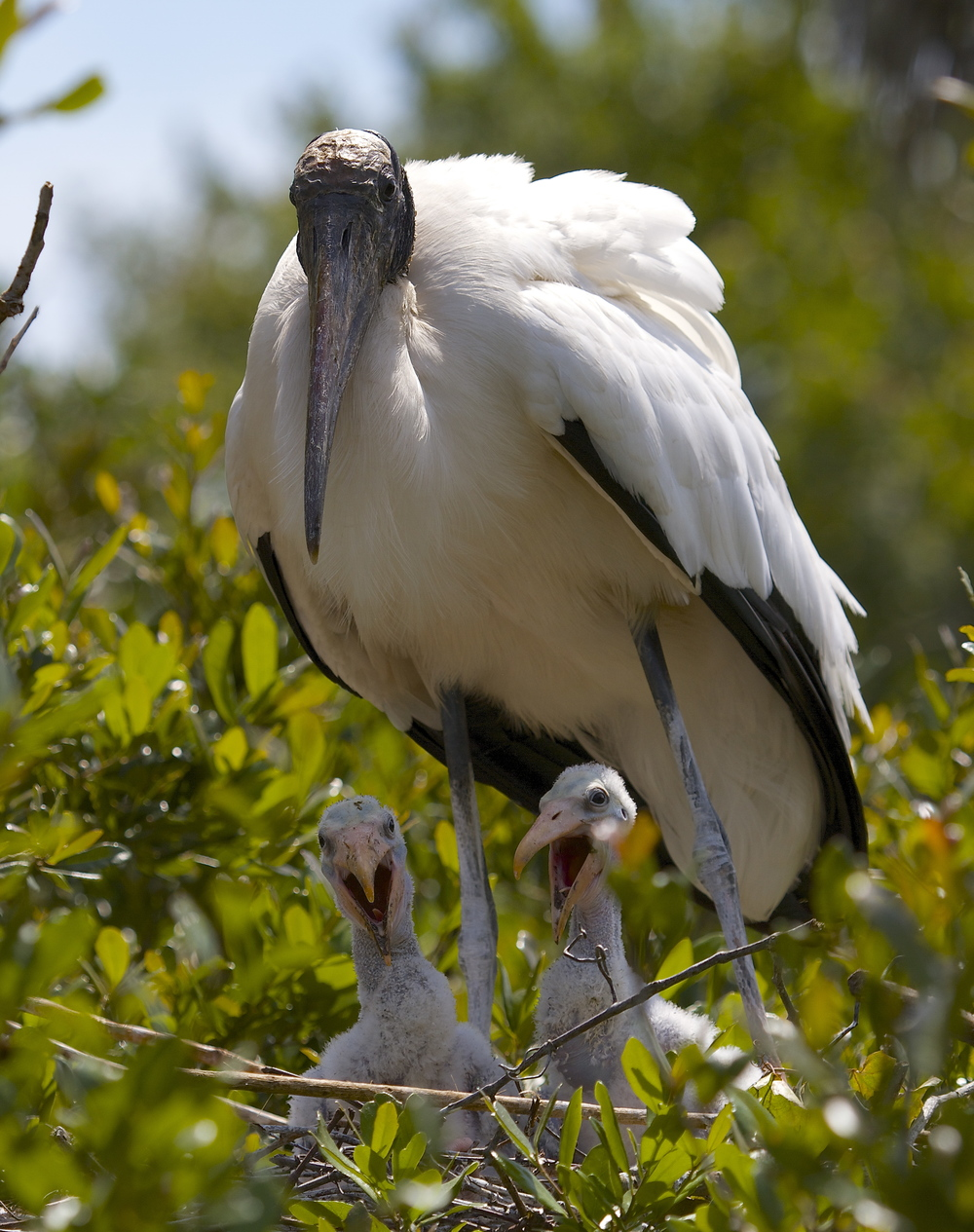 These fuzzy little storks are beautiful to their parents.
