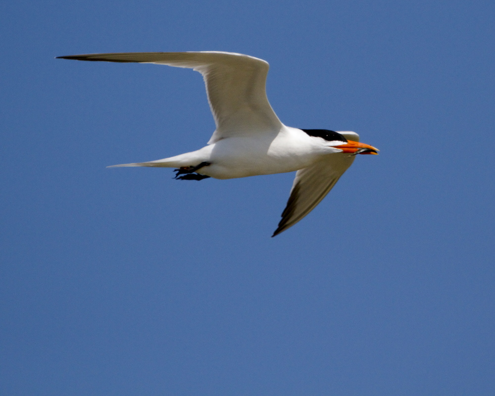 A Royal Tern has hungry mouths to feed.