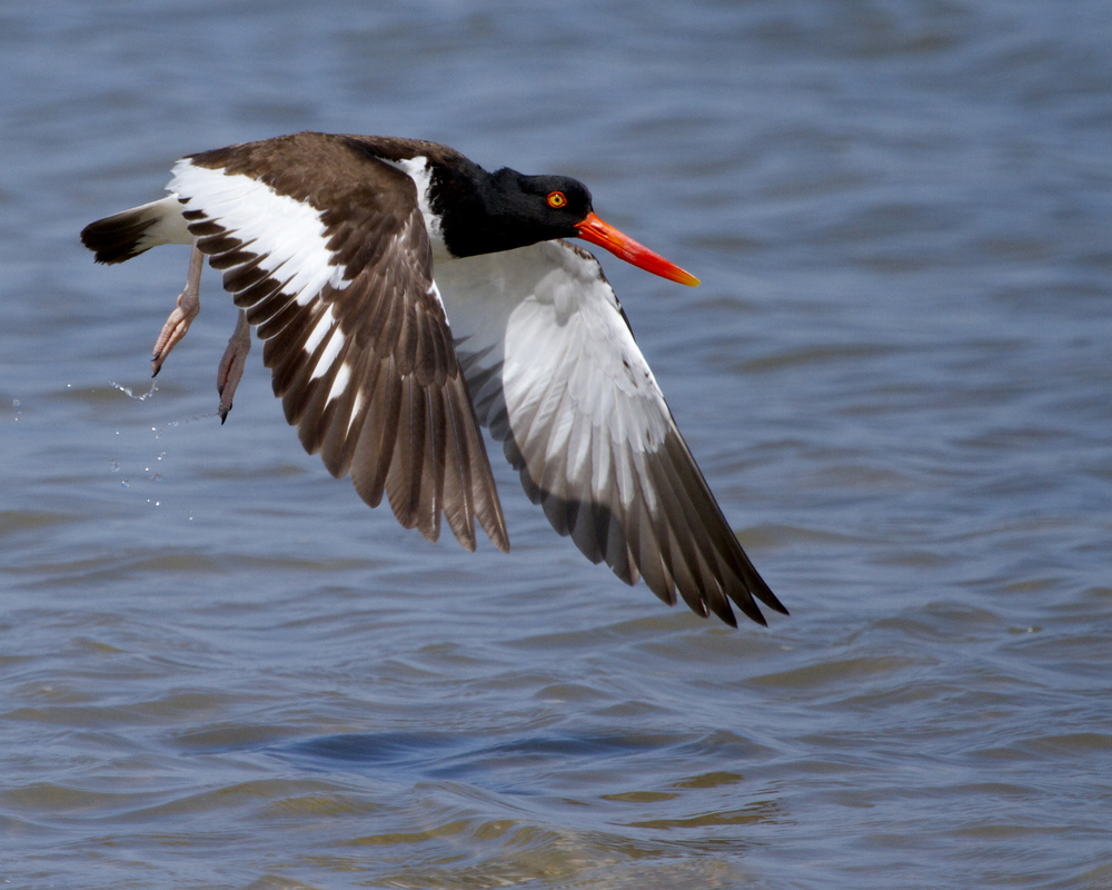 The American Oystercatcher feeds on bivalves in the shallows but must not stay long.