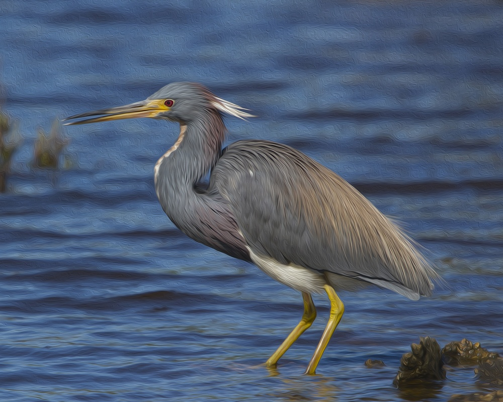 I applied a similar artistic canvas oil painting texture effect to this Tricolored Heron photo..best seen if you enlarge your screen.