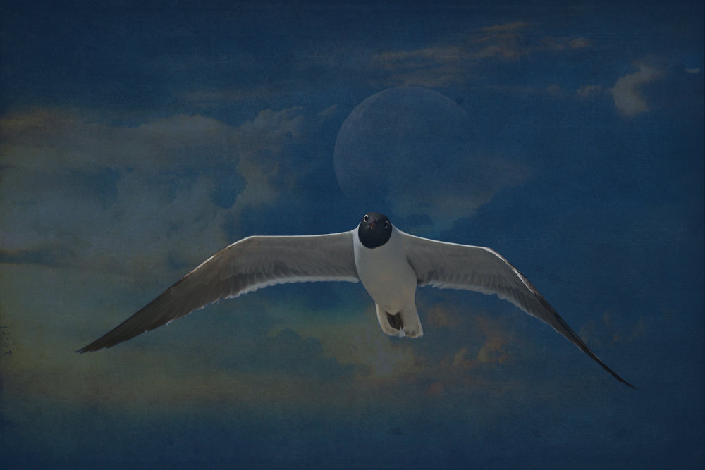 Laughing Moon, here I used two photos (gull and moon) and two overlays to give this laughing gull a more whimsical look.