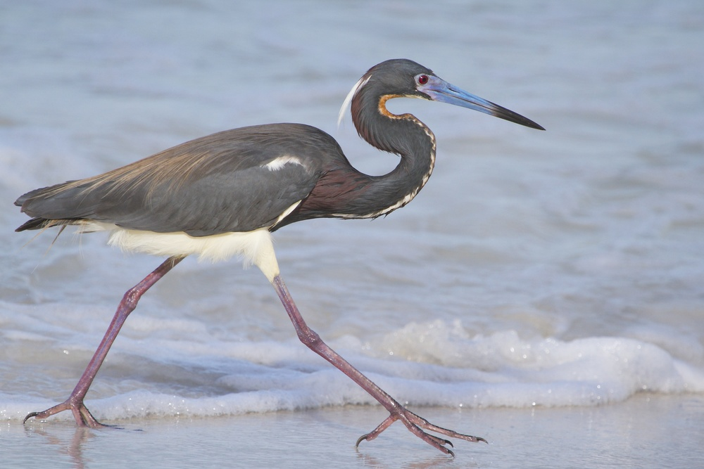 Tricolored Heron in Breeding coloration..truckin!  (hot date?) _
