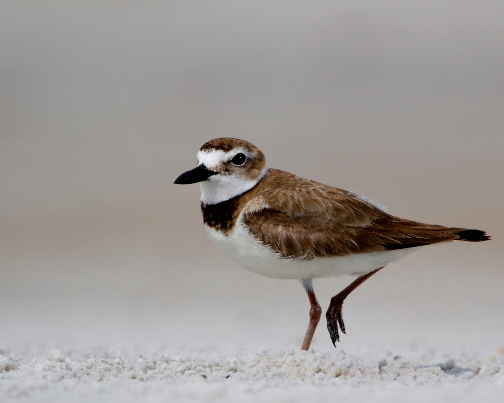 Wilsons Plover keeps patient watch over a crab hole for breakfast..