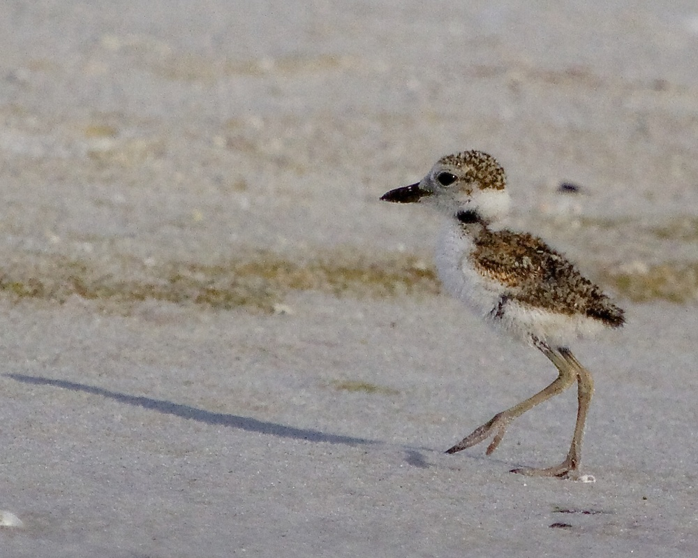 Hatchling plover scurries across the sand...